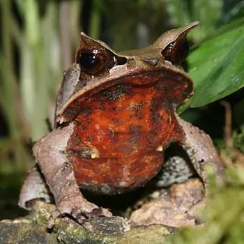 la grenouille cornue est soumise au commerce illégal d'animaux de compagnie.