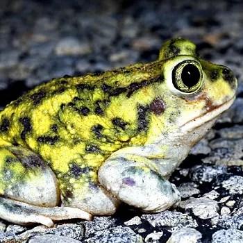 contrairement a beaucoup d'amphibiens, cette grenouille a une pupille verticale
