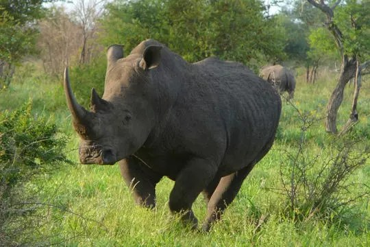 rhinocéros au lever du jour