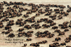 Custer Buffalo Round-Up