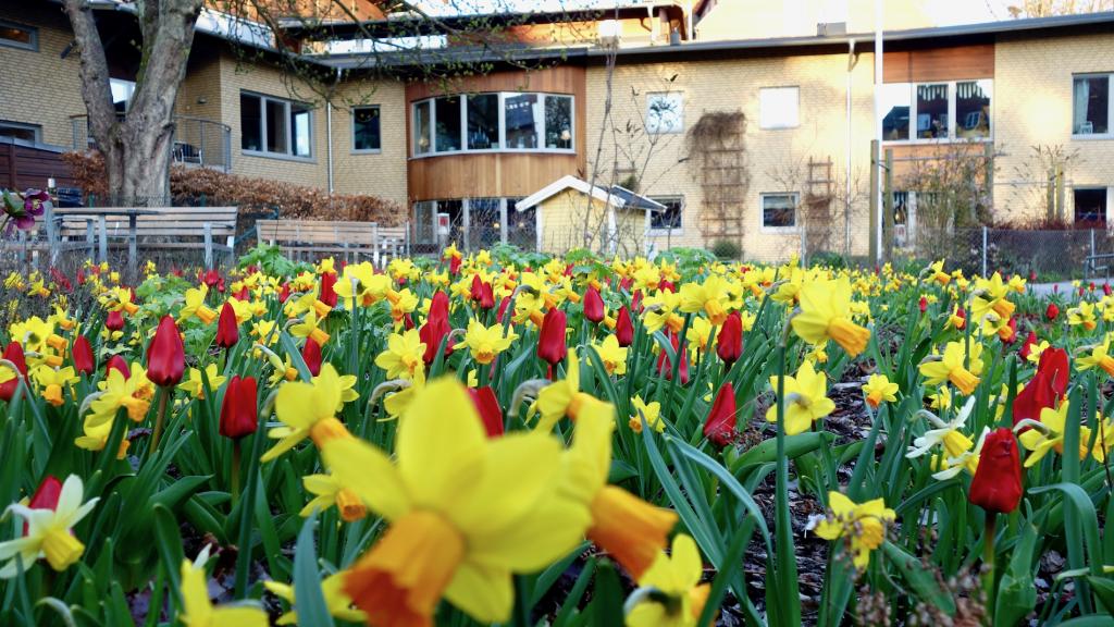 Utanför huset blommar vårblommorna i stor mängd. Julros, Påskliljor och Tulpaner