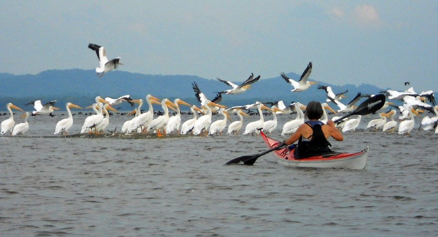 Mary gets a closer view of white pelicans in the backwaters of the Mississippi River.