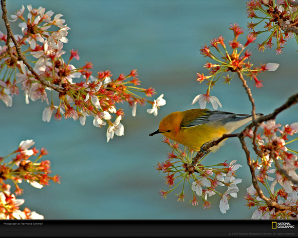 Warbler Amid Cherry Blossoms