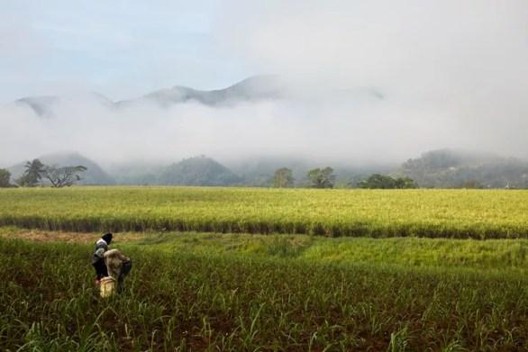 Worthy Park sugar cane fields