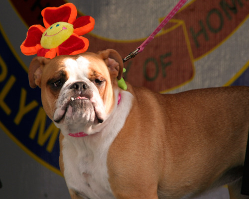 Dog with a flower on his head for a hat