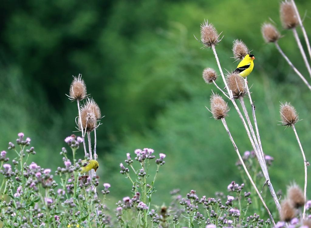 Two American Goldfinch perched on brown thistle plants in the field