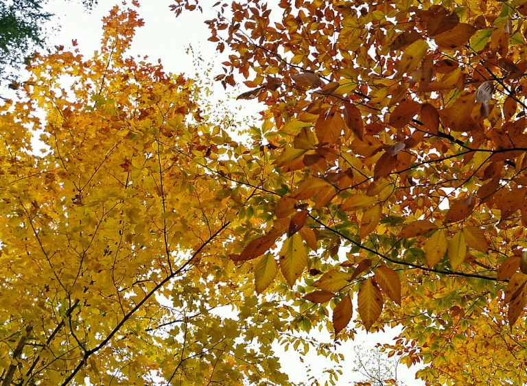 gold and copper-colored leaves fill the gray-colored fall sky.