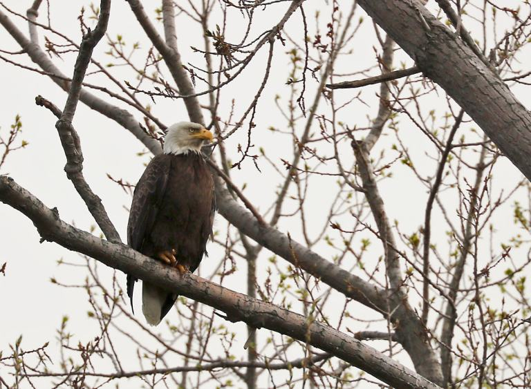 Bald Eagle perched on a bare tree branch