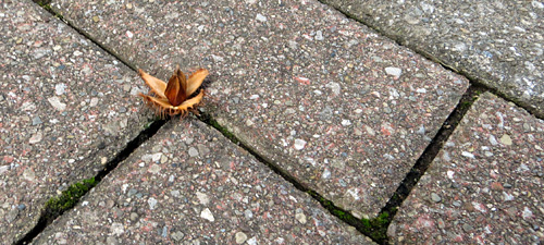 Beech nut on the brick sidewalk at Chadwick Arboretum