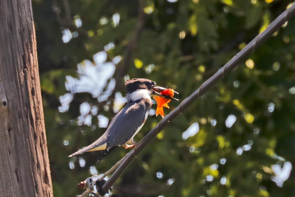 gray-crested stocky bird perched on wire holding a goldfish in its bill.
