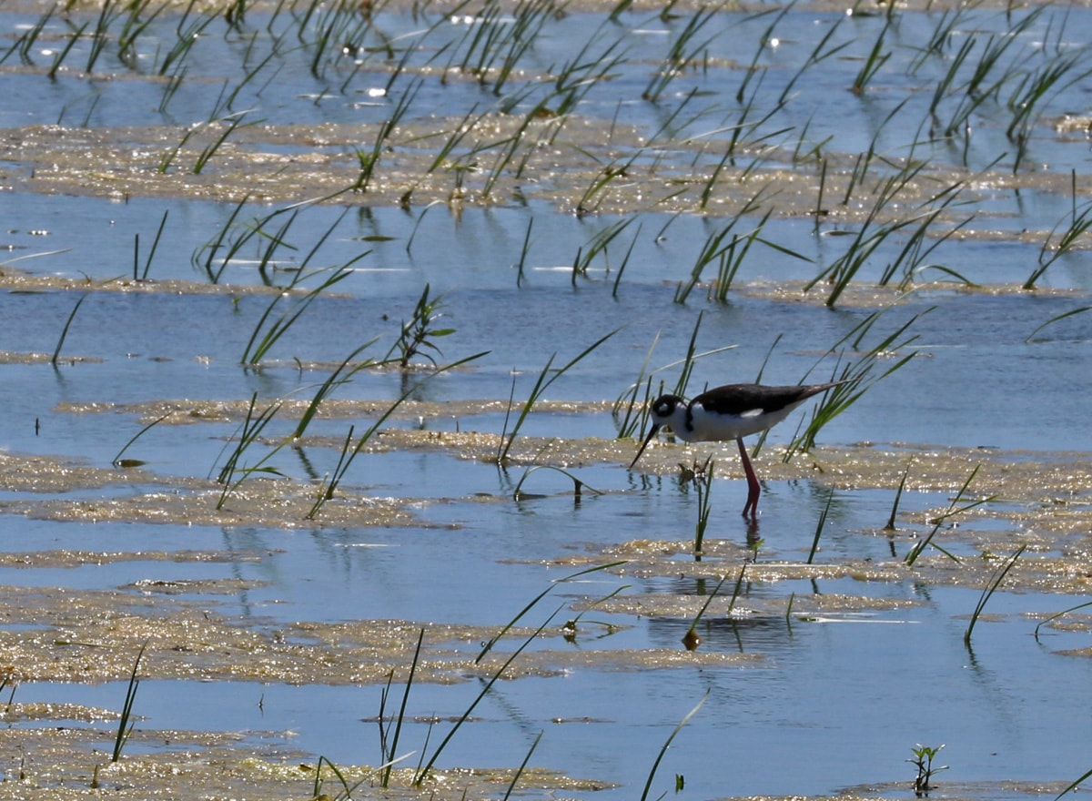 Black-necked Stilt wading amongst grasses in the blue marsh waters