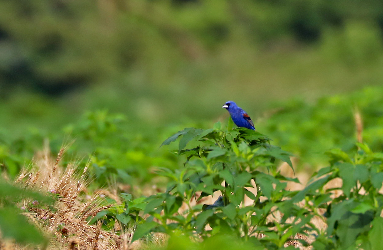 blue bird perches on top of short-shrub in field.