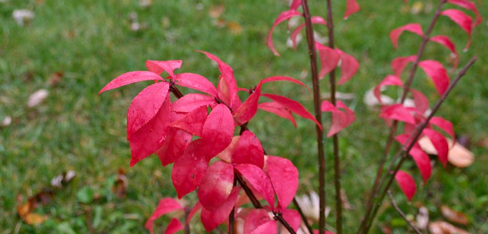 Bright red leaves of the burning bush in fall