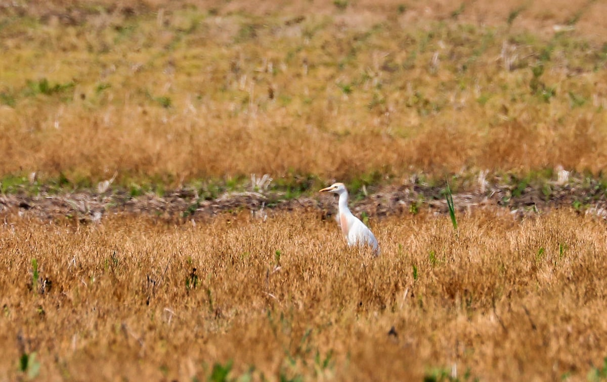 white slim bird with golden brown head and breast pauses as it feeds in the harvested cornfield.
