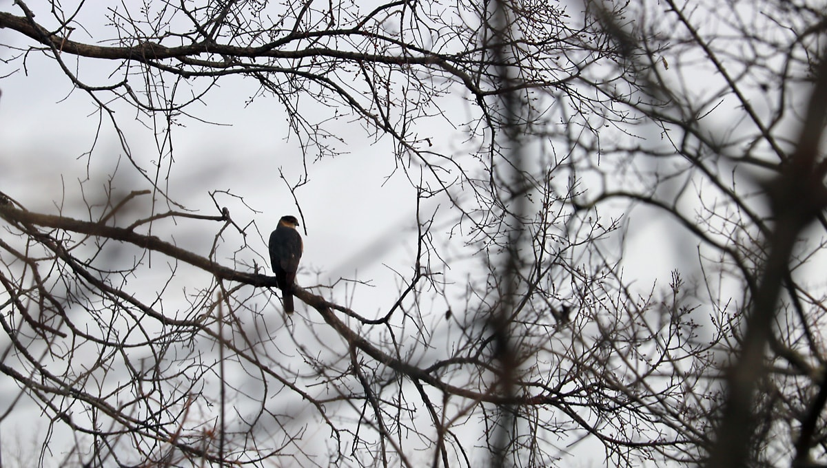 Looking through brambles, a Cooper's Hawk sits in a tree, staring out over the marshland