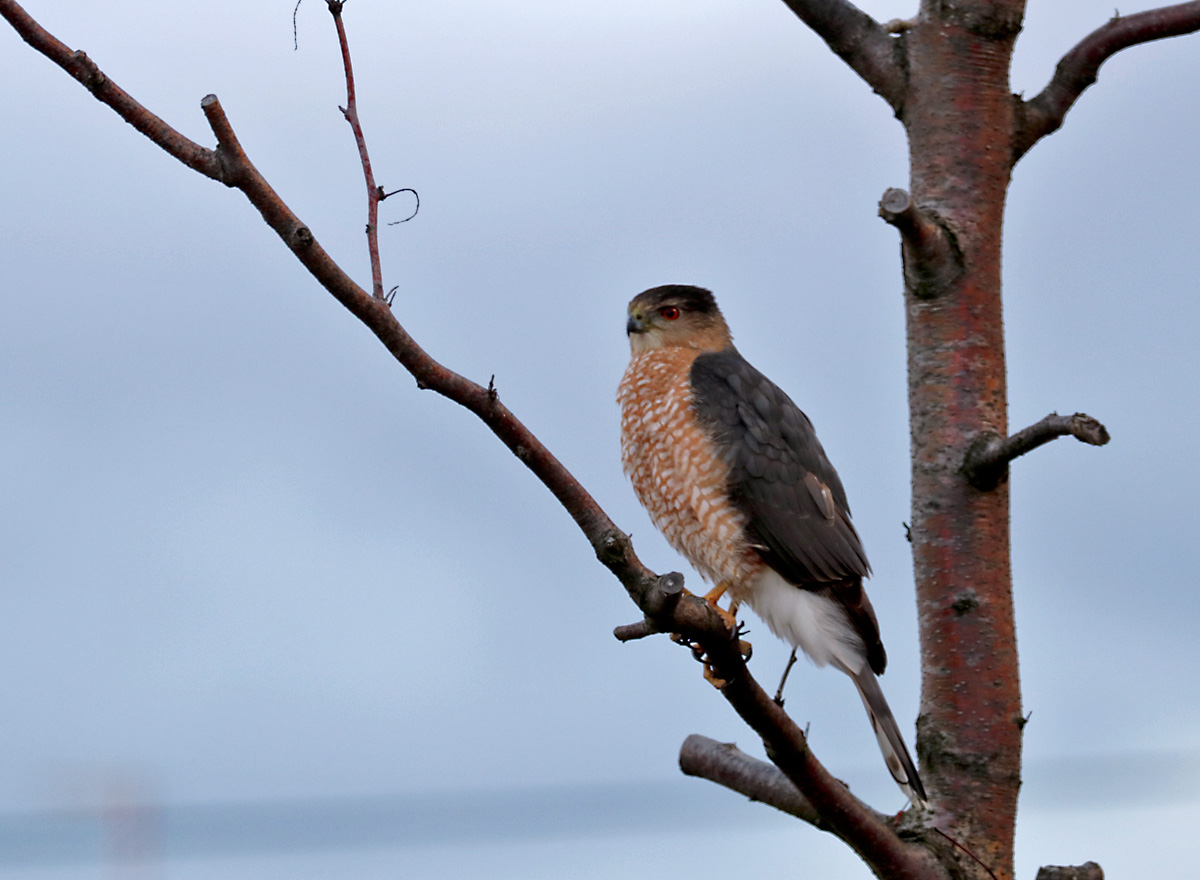 small gray hawk with copper barring on its breast perches calmly on a tree branch at dusk.