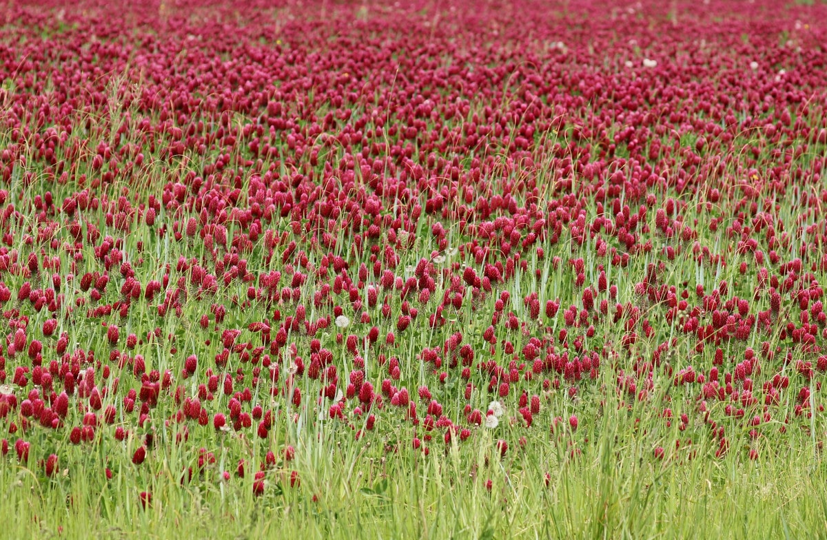Deep crimson colored conical-shaped blooms on feathery green stems in the field, with green grass in the foreground.