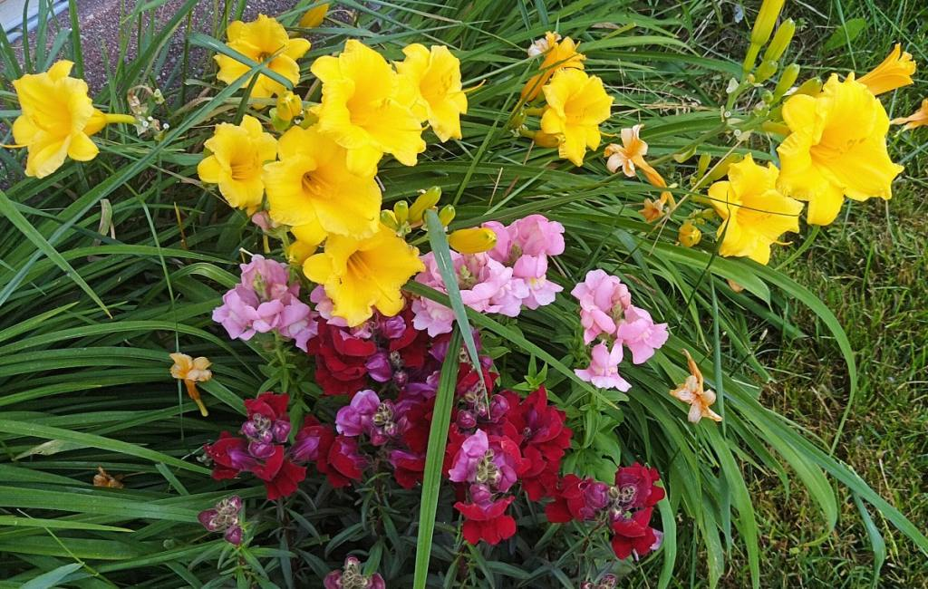 Bright yellow Stella D'Oro day lilies and pink and deep red snapdragons are in full bloom.