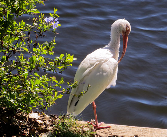 white ibis on the short of pond at Disney World