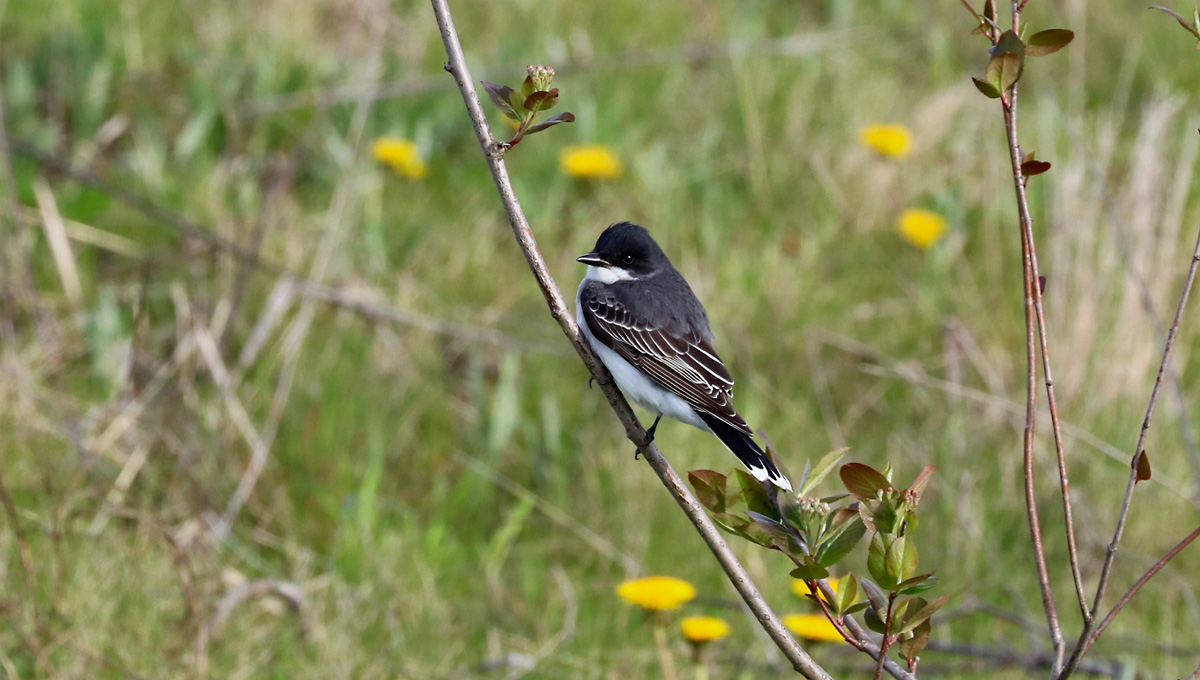 white-breasted bird black capped bird with white-tipped tail perches on small sapling in field.
