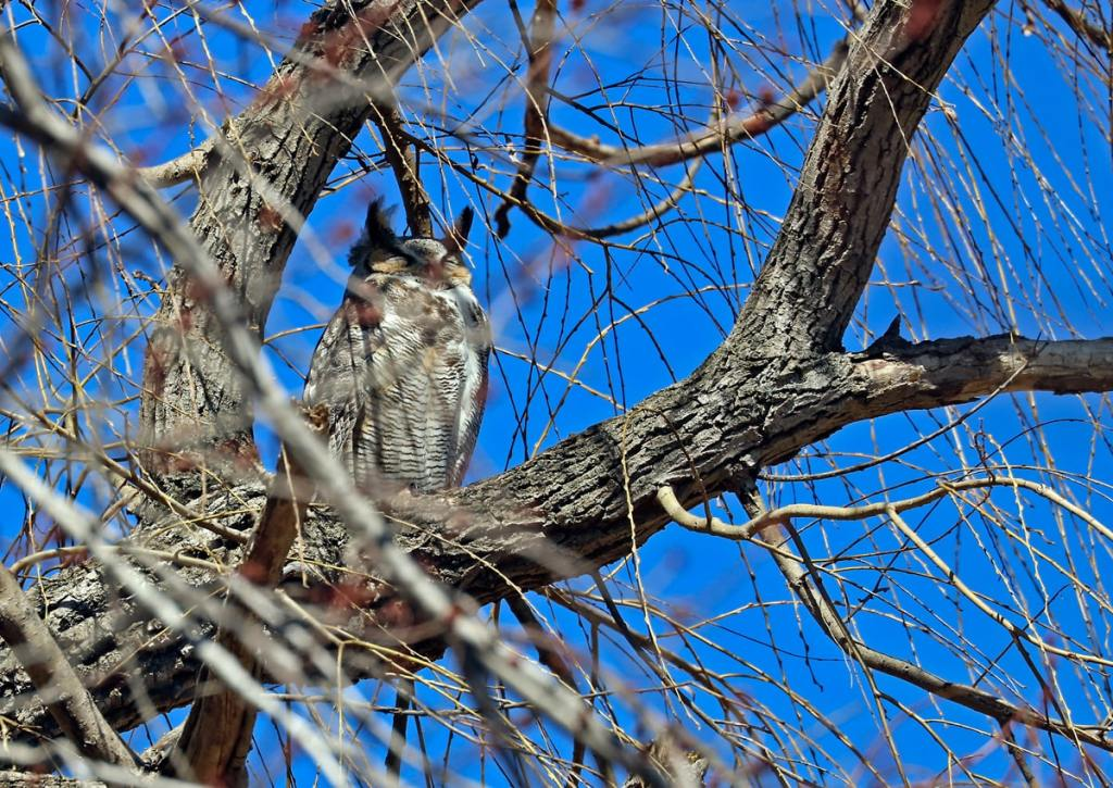 Hidden by tree branches, the male owl keeps watch over the young in the nest below.