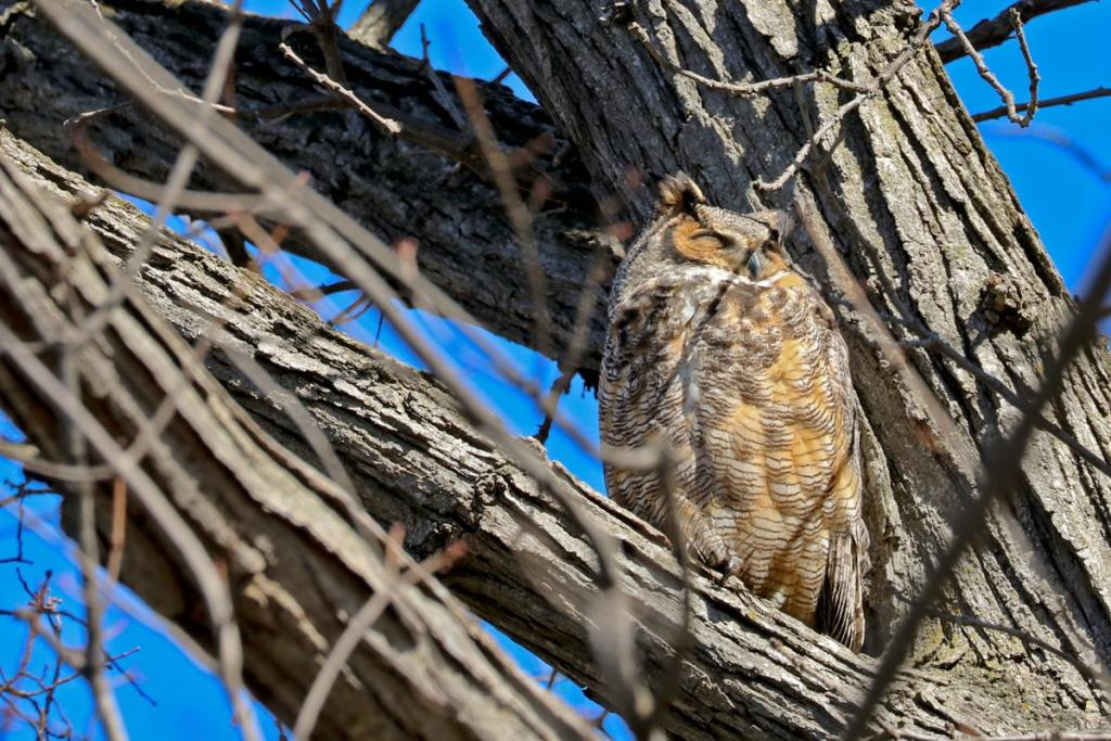 female Great Horned Owl with eyes closed, perched next to tree trunk.