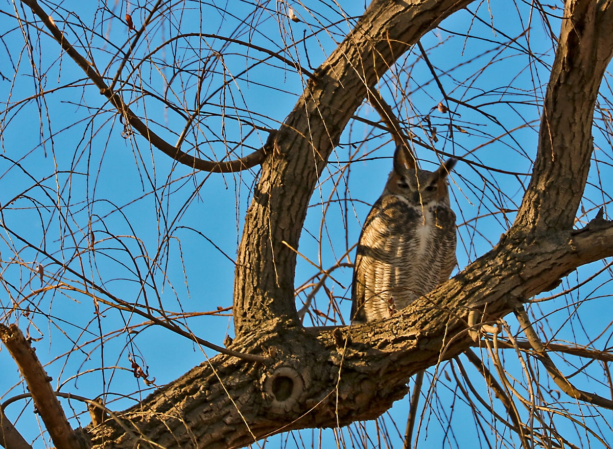 brown and white owl perches in the fork of a tree in winter, with clear blue sky in background.