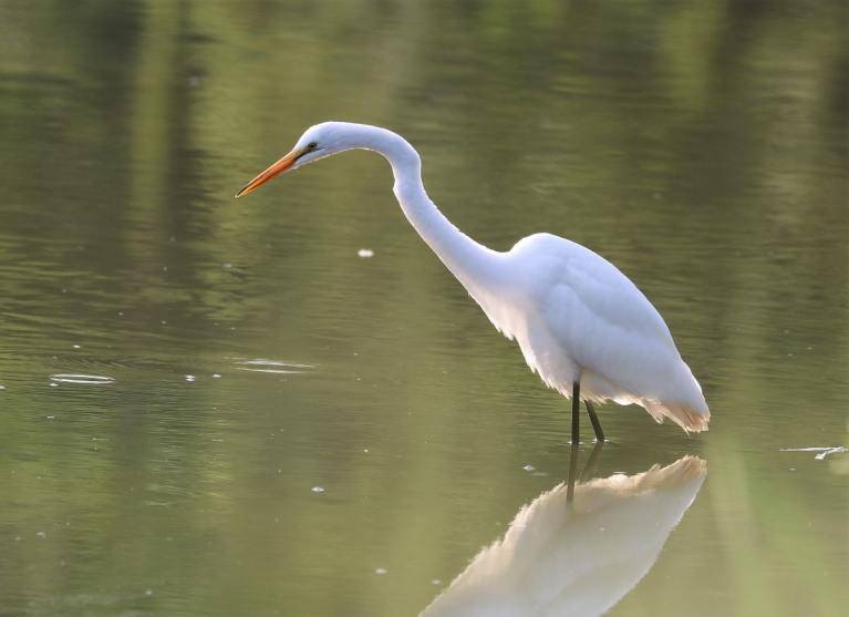 Large white wading bird with long orange bill pauses in the shallow water as it searches for prey.