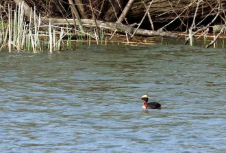Horned Grebe swimming along in a protected inlet at Erie Marsh