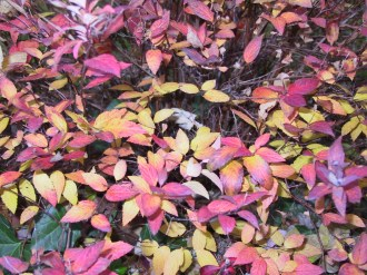 Bradford pear and maple fall leaves