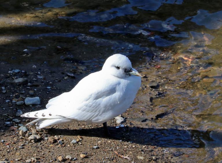 Ivory Gull standing on the shoreline of the Flint river