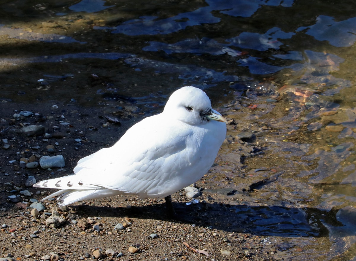 Ivory Gull standing on the shoreline of the Flint river