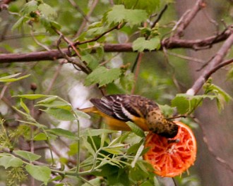Oriole feeding on orange