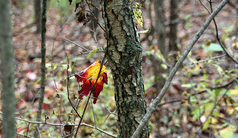 Bright yellow and red maple leaf hanging from tree