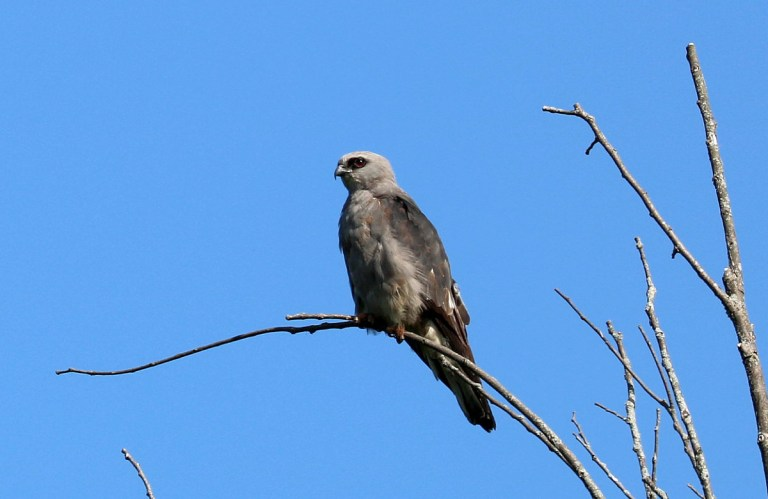 Gray slender raptor with white patches on dark gray wings with dark eye patch perches on tree snag.