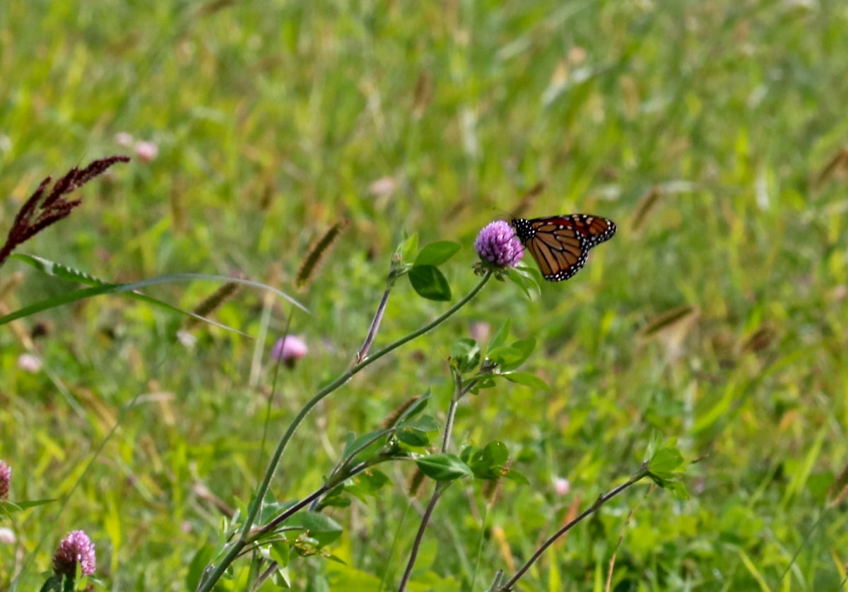 Orange and black Monarch butterfly lights on the a purple clover flower.