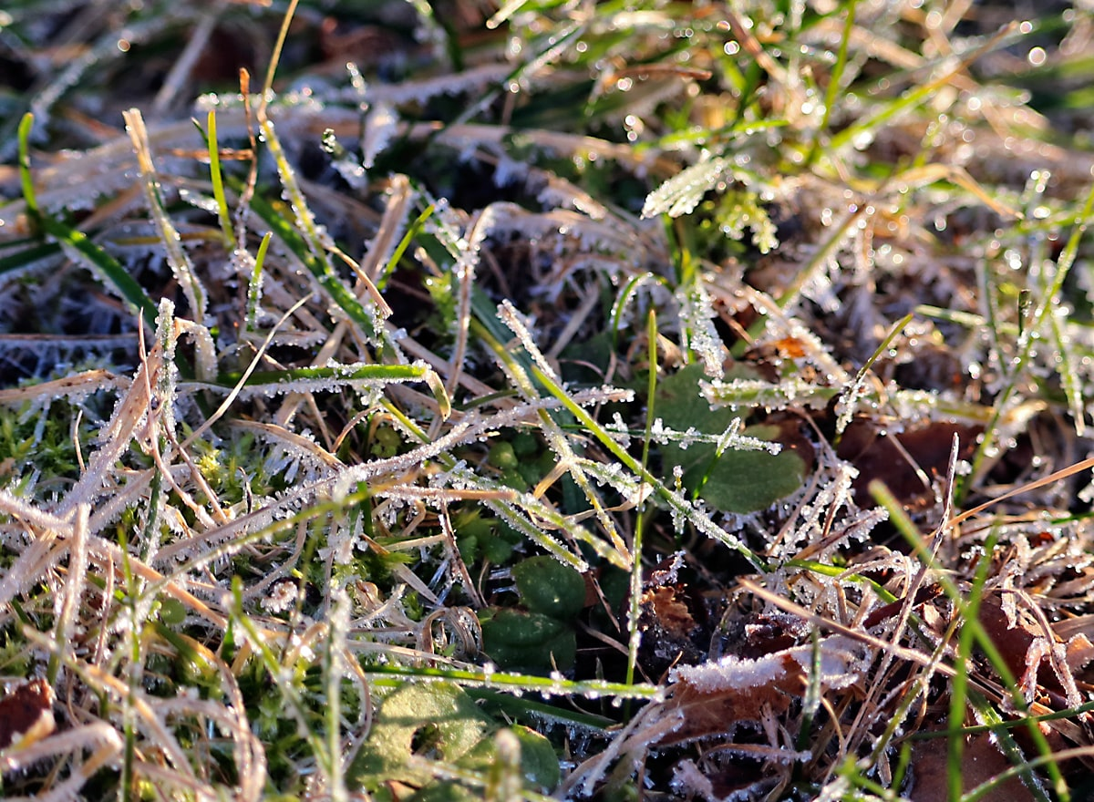 frost crystals shine brightly on grass leaves in the golden morning sunlight.