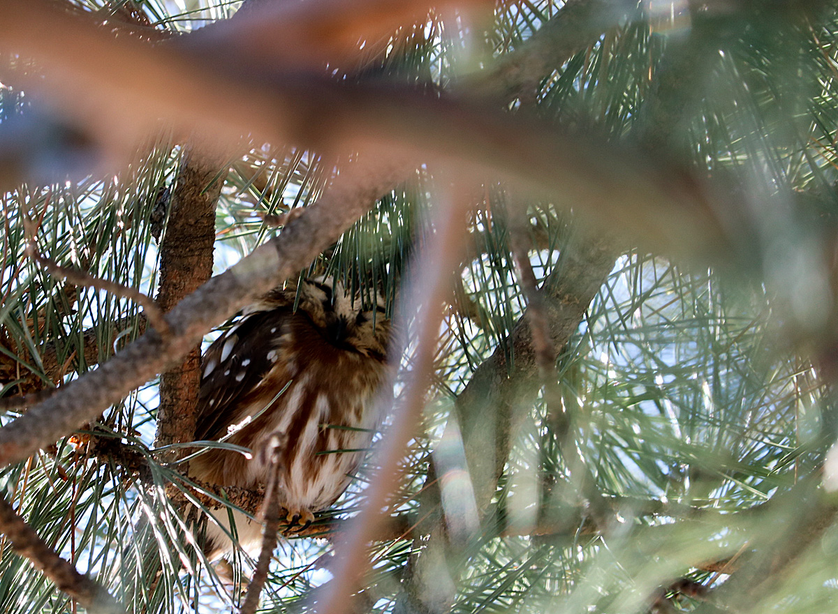 Northern Saw-whet Owl, sitting on a branch, nestled in the shadows of the green pine tree needles