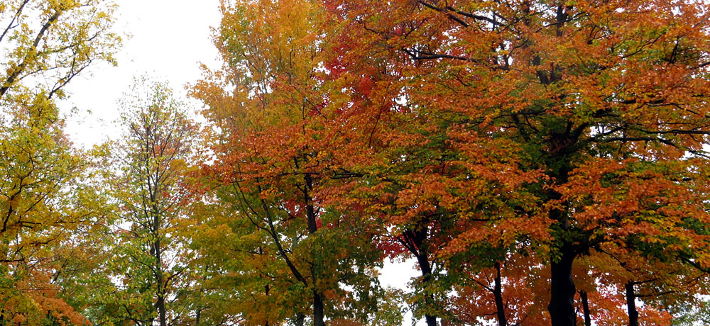 Maple trees in orange and gold fall foilage