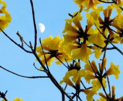 yellow blooms on tree