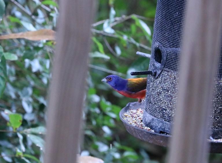 blue, yellow, and green bird perched on rim of tubular bird feeder