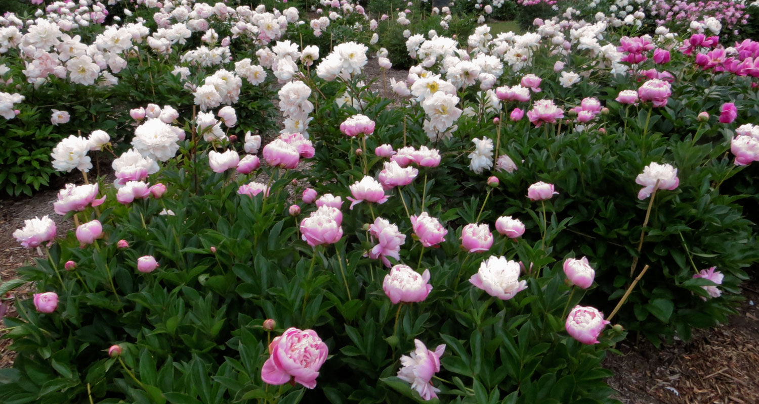 Pink and white peonies in bloom