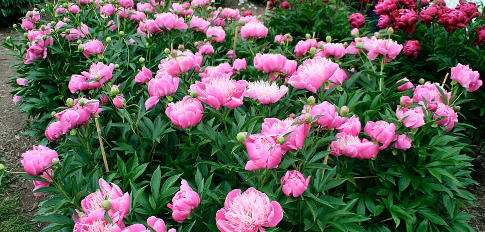 Pink and red peonies at the Peony Garden