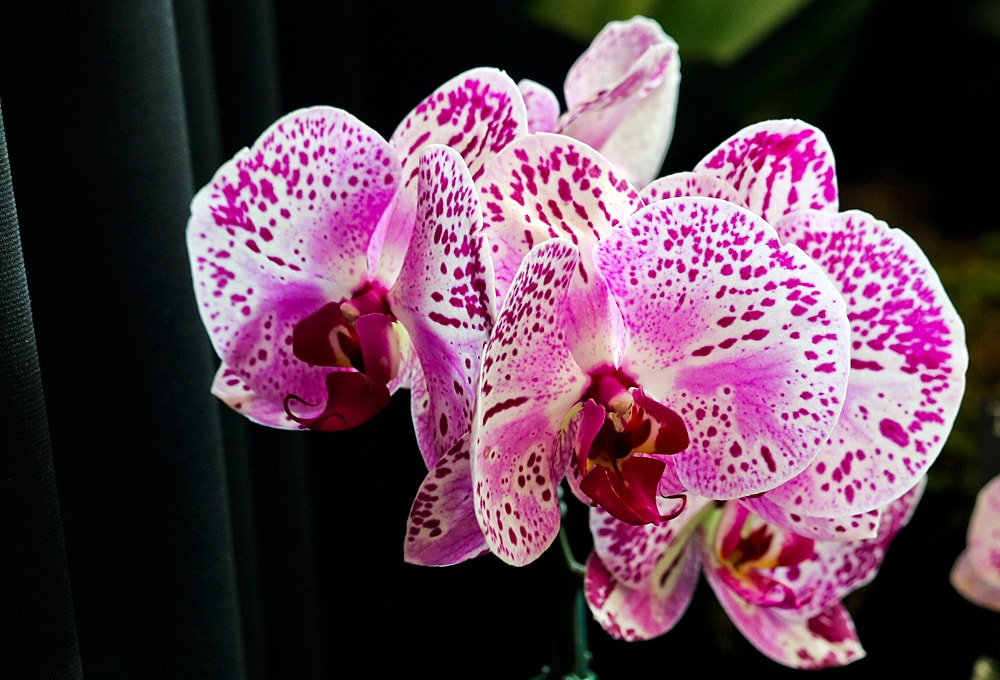 Multiple pink and white Phalaenopsis orchid blooms