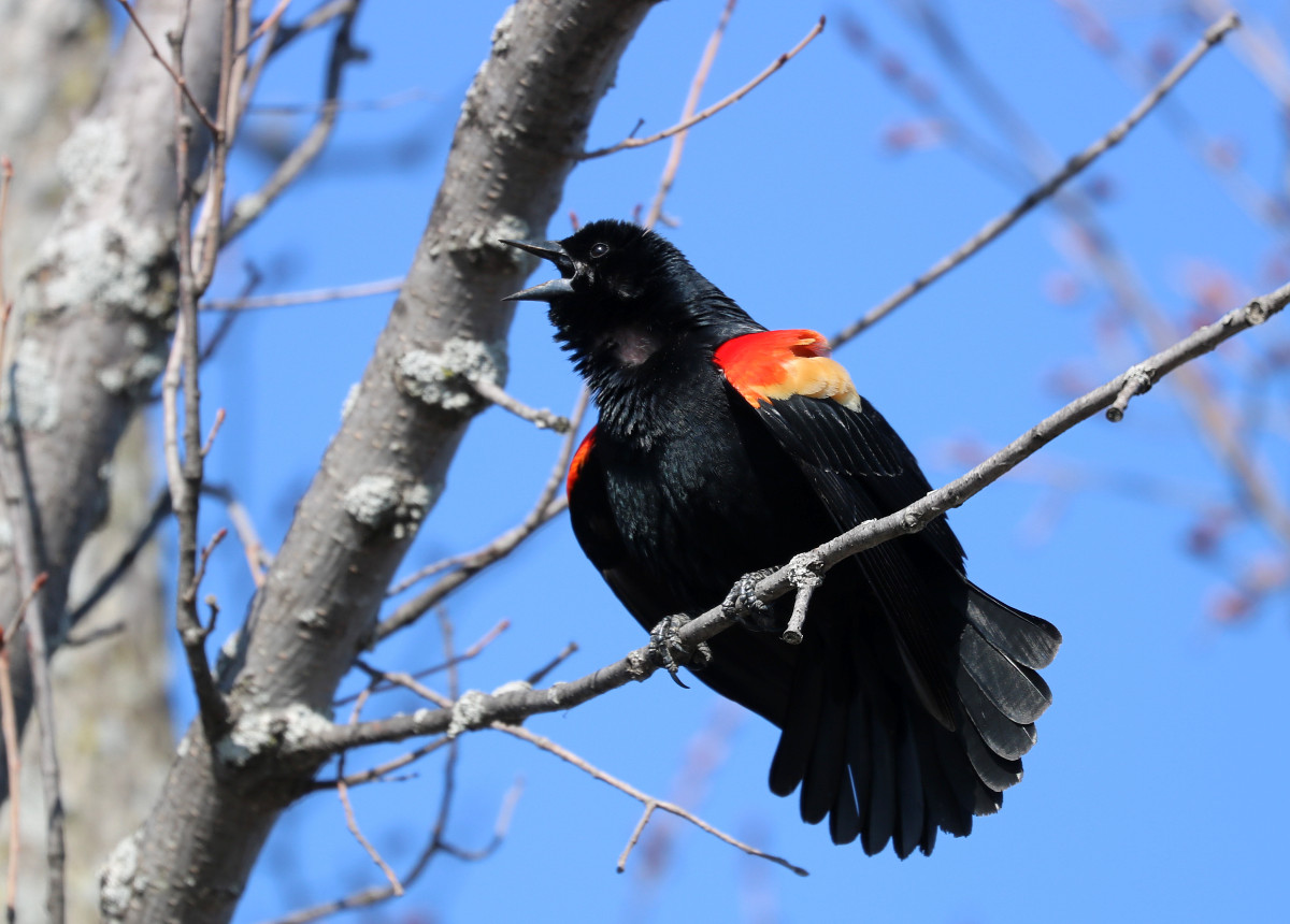 Black bird with red and yellow epaulets sings loudly as it perches on the bare tree branch.