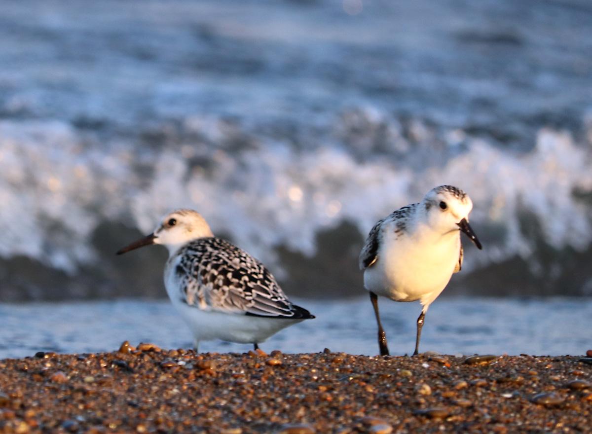 two shorebirds with mottled wings, long black beaks, walking along the shoreline