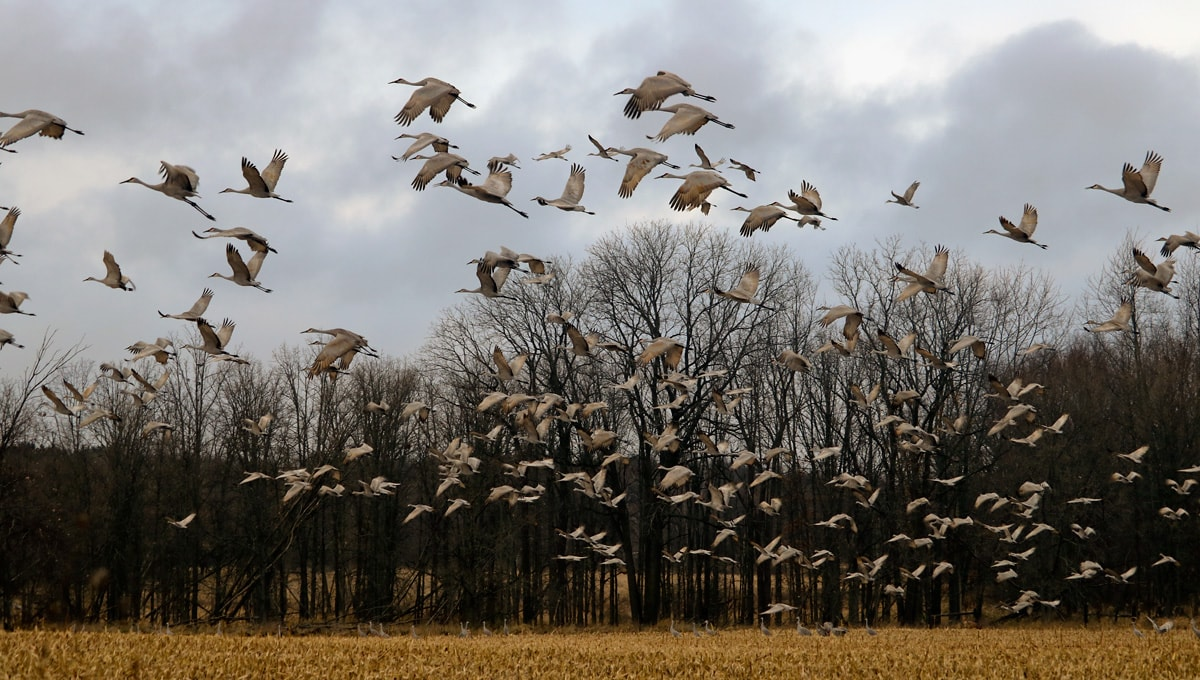 flock of large gray birds take off from a harvested cornfield.