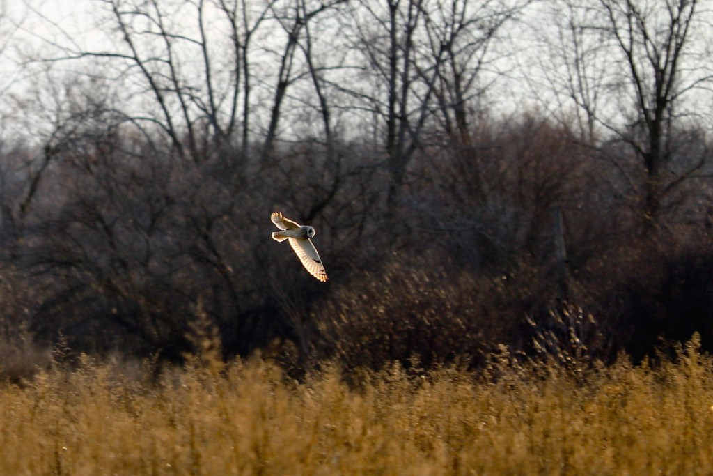 Short-eared owl flying over winter weeds, sunlight shining through wings
