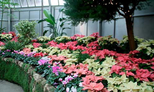 Poinsettias and cyclamens fill the show room