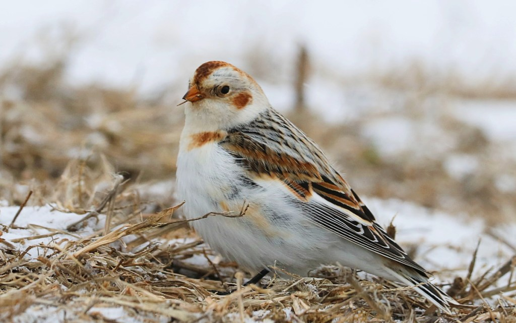 Sparrow-sized white bird with rust-colored head, cheek patches, and shoulders pauses as it forages on the ground.